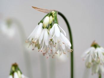 Strumaria truncata.jpg